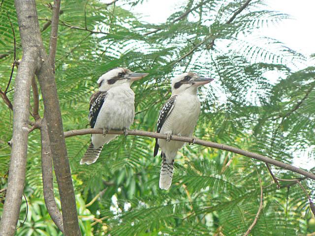 kookaburra1.jpg