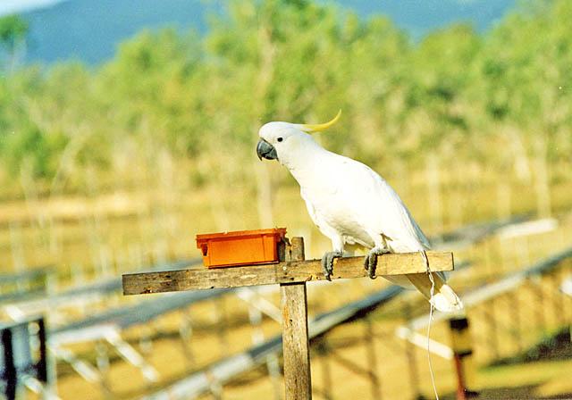 white_cockatoo.jpg